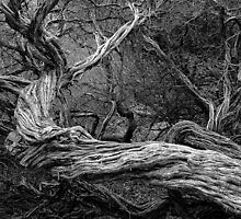 Coastal Tea Tree in Mono by Hans Kawitzki