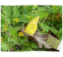 Nice Sulphur Butterfly Poster