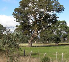 Gum tree near Penshurst with typical scrappy wire fence by Neroli Wesley