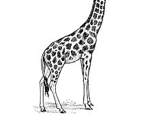 Giraffe Sketch by kwg2200