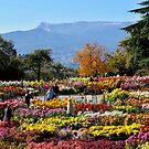 Nikita Botanical Gardens  Chrysanthemum Ball  by fiat777