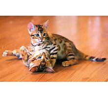 Bengal Kittens at Play Photographic Print