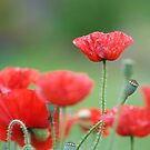 garden poppies by sapaho