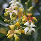 Australian Frangipani by lezvee