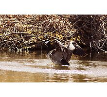 Canada Goose Landing on a Lake Photographic Print