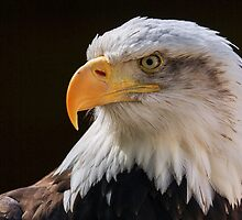 Bald Eagle Profile by Mark Hughes