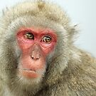 Japanese Macaque - Snow Monkey by Mark Hughes