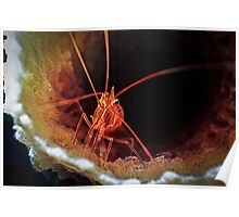 Peppermint Shrimp in Tube Sponge, Bonaire Poster