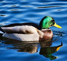 Mallard Duck  by Susie Peek