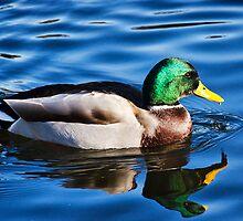 Mallard Duck  by Susie Peek