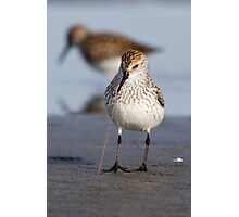 Noodles for Dinner -- Western Sandpiper Photographic Print