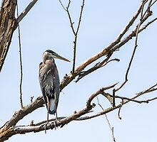"""Dead Tree Sentry"" -- Great Blue Heron by Tom Talbott"