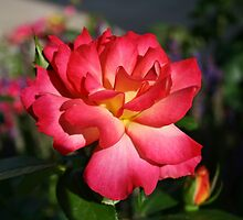 Beautiful Pink and Yellow Rose by Gilda Axelrod