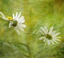 Daisies of Distinction by vigor
