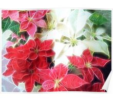 Mixed color Poinsettias 1 Angelic Poster