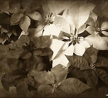 Mixed color Poinsettias 1 Antiqued by Christopher Johnson