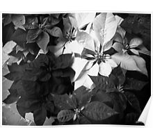 Mixed color Poinsettias 1 B&W Poster
