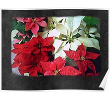 Mixed color Poinsettias 1 Blank P4F0 Poster