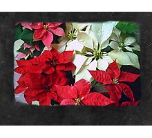 Mixed color Poinsettias 1 Blank P4F0 Photographic Print