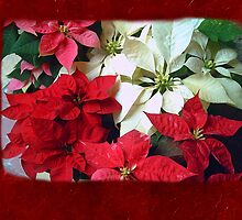 Mixed color Poinsettias 1 Blank P5F0 by Christopher Johnson