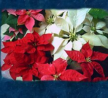 Mixed color Poinsettias 1 Blank P6F0 by Christopher Johnson