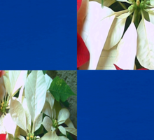 Mixed color Poinsettias 1 Blank Q1F0 Sticker