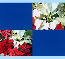 Mixed color Poinsettias 1 Blank Q1F0 by Christopher Johnson