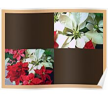Mixed color Poinsettias 1 Blank Q3F0 Poster