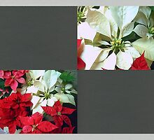 Mixed color Poinsettias 1 Blank Q6F0 by Christopher Johnson