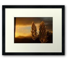 Pampas grass sunset  Framed Print