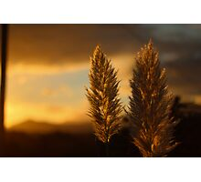 Pampas grass sunset  Photographic Print