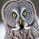 Great Gray Owl Christmas Card 11 by Michael Cummings