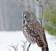 Great Gray Owl Christmas Card 12 by Michael Cummings