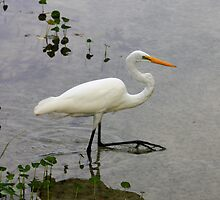 Great Egret, Rainbow River, Dunnellon, Florida by AuntDot