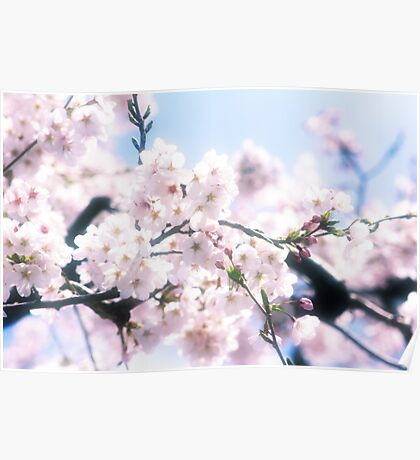 Lovely White Sakura Cherry Blossoms Spring Flowers Poster