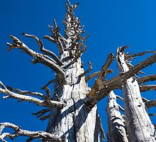 Three Skeletal Trees With Blue Sky by studiojanney