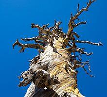 Skeletal Tree with Blue Sky by studiojanney