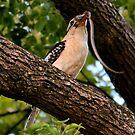 Kookaburra's Dinner by Bami