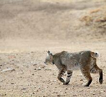 Bobcat on the Move by Corri Gryting Gutzman