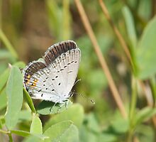 Eastern Tailed Blue by NaturalCultural