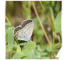 Eastern Tailed Blue Poster