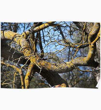 Lichens on deciduous tree Poster