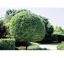 a fine work of topiary Photographic Print