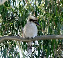 Kookaburra sitting on a gum tree - so fluffy by Neroli Wesley
