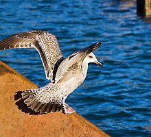 Immature Herring Gull  by Susie Peek