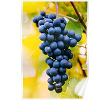 red wine grapes Poster
