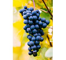 red wine grapes Photographic Print