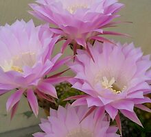 Cactus Blossoms In Bloom by KathysCards