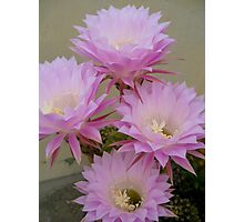 Cactus Blossoms In Bloom Photographic Print