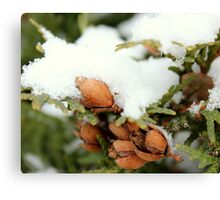 ceder tree with fresh layer of snow Canvas Print